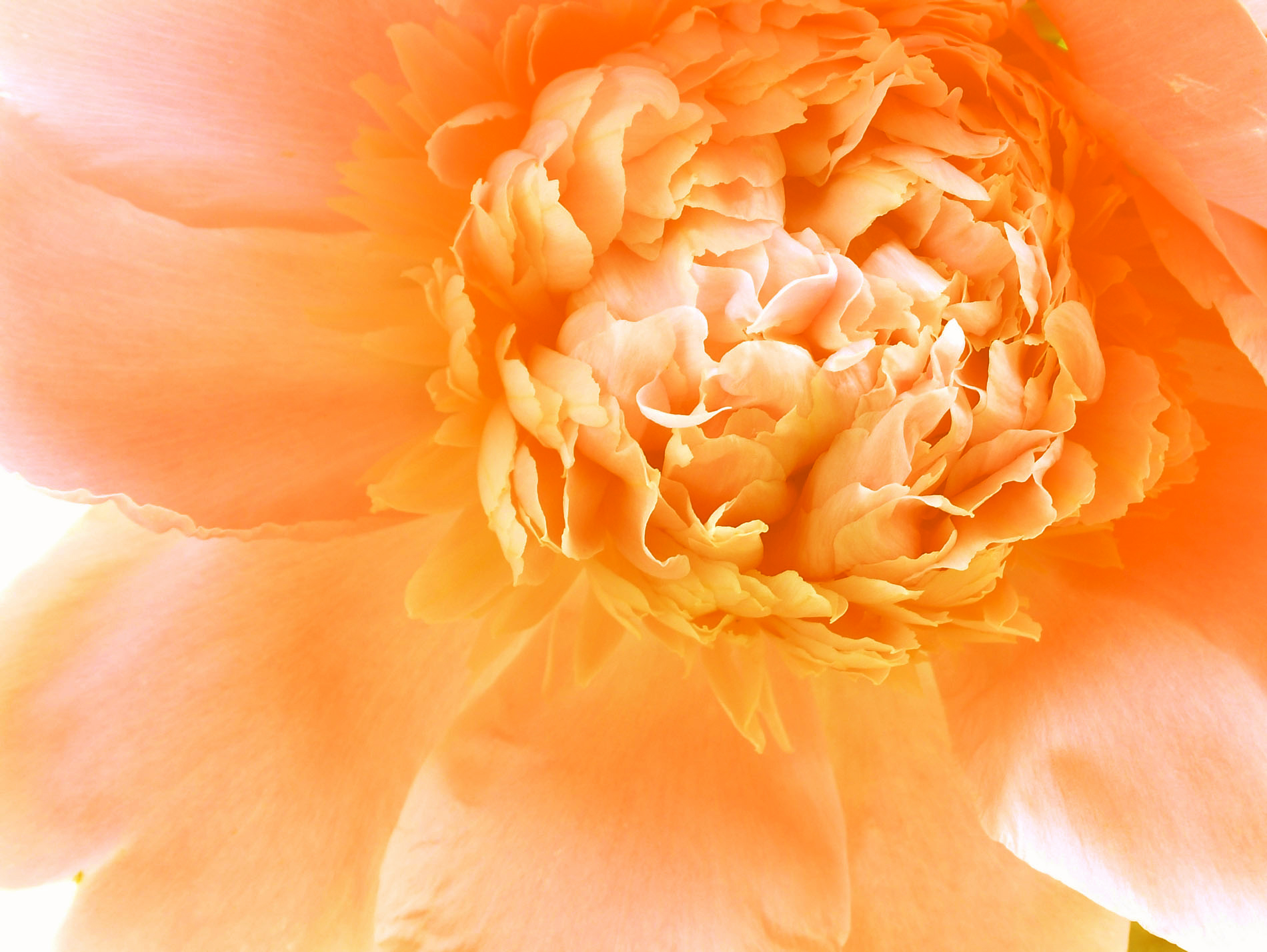 Peony-warm-orange-yellow